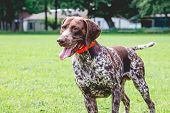 Dog Breed  German Shorthaired Pointer With A Lovely Gaze Stands On The Grass Of The Lawn poster