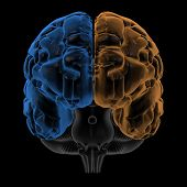 picture of temporal lobe  - 3D Rendering  of the two Hemispheres of the brain front view - JPG