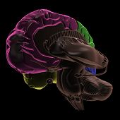 Coloured areas of the Brain, three-quarter view