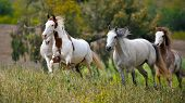stock photo of mustang  - American wild mustang horses - JPG
