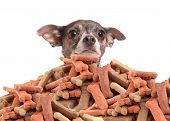 pic of peek  - Chihuahua peeking over large mound of dog bone shaped treats or biscuits on a white background - JPG