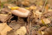 Single Mushroom In The Dry Fallen-down Foliage In The Autumn Forest poster