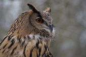 The Long-eared Owl, Asio Otus, Also Known As The Northern Long-eared Owl, Is A Species Of Owl Which  poster