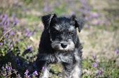 picture of schnauzer  - miniature schnauzer playing on a warm day in purple clover - JPG