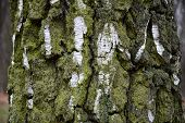 Aged Weathered Birch Tree Bark Structure Closeup. Wrinkled White Bark Surface Overgrown With Lush Gr poster