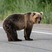 Wild Young Hungry And Terrible Eastern Brown Bear (kamchatka Brown Bear) Standing On Asphalt Road, H poster