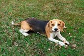 Cute Beagle Dog Lying On Green Grass, Portrait Cute Beagle Dog poster