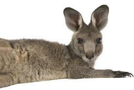 stock photo of baby animal  - Eastern Grey joey kangaroo lying on a white background - JPG