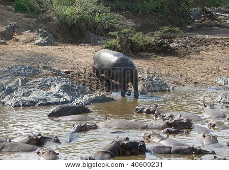 Hippo And Shore