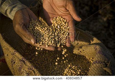 soya beans in hand
