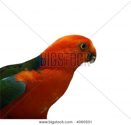 King Parrot Alisterus Scapularis Isolated
