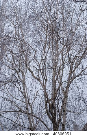 Birch Branches In The Fog