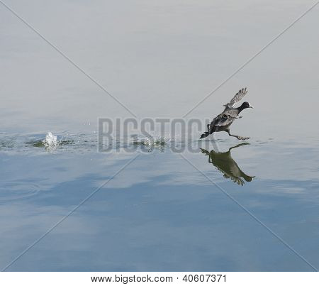 Moorhen Taking Off On Water