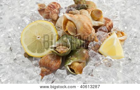 whelks with lemon on ice