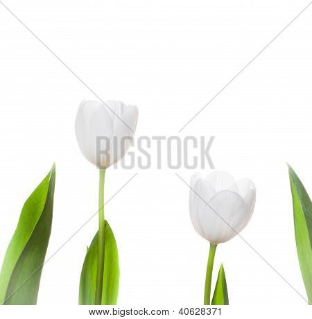 White Tulip Flowers Isolated