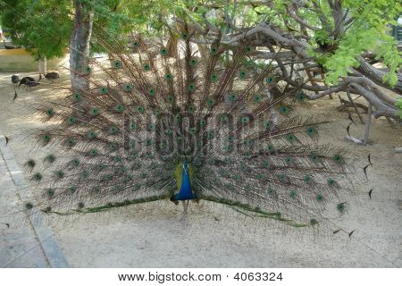Indian Peafowl Peacock