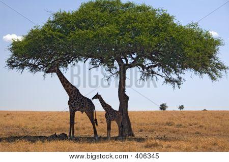Tiere 049-Giraffe