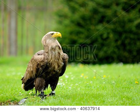 Golden Eagle In Zoo