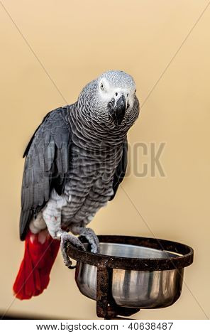 Gray Macaw With Red Tail