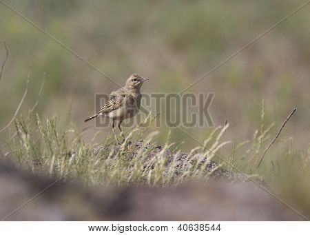 Tawny Pipit In Rocky Steppe.
