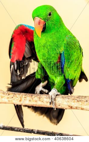 Green Macaw Show Wing On Perch