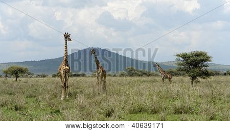 Three Giraffes In The Savannah