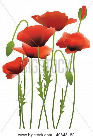 Red Poppy Flowers, Vector Illustration