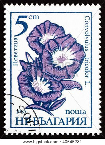 BULGARIA - CIRCA 1985: a stamp printed in the Bulgaria shows Dwarf Morning Glory, Convolvulus Tricolor, Flower, circa 1985