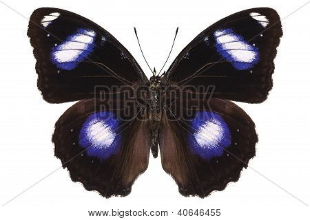 "Butterfly Species Hypolimnas Bolina Male ""great Eggfly"""