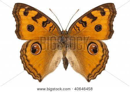 "Butterfly Species Junonia Almana ""peacock Pansy"""