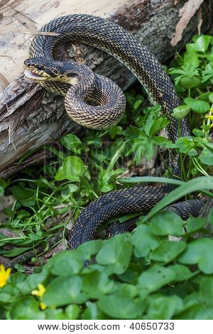 Snake In Natural Habitat
