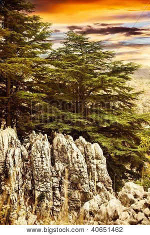 Image of cedars forest of Lebanon, coniferous woods on the rocks, dramatic red sunset, big green pine trees in the mountains, beautiful landscape, wild nature, huge fir tree over sunrise