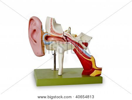 Model From Auditory Canal