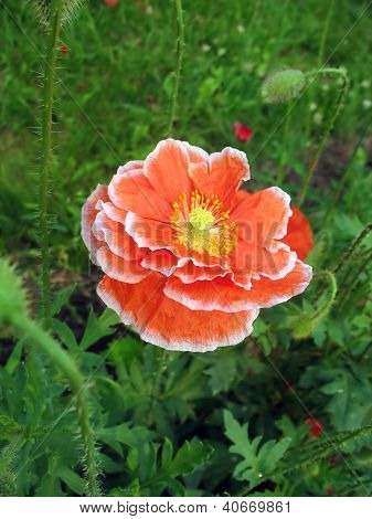 Red double poppy flower with white border