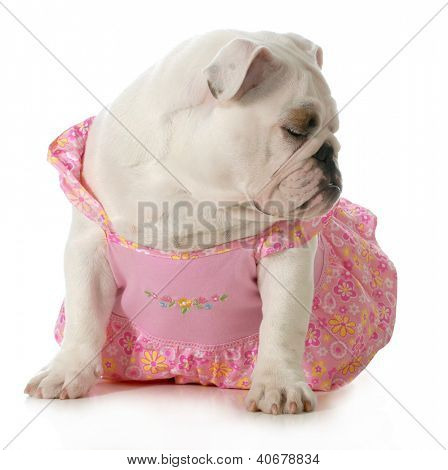 perrita - bulldog inglés vestido rosa aislado sobre fondo blanco