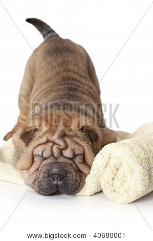Sleeping Sharpei Puppy