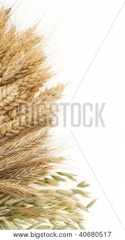 ripe cereals ears isolated on white background