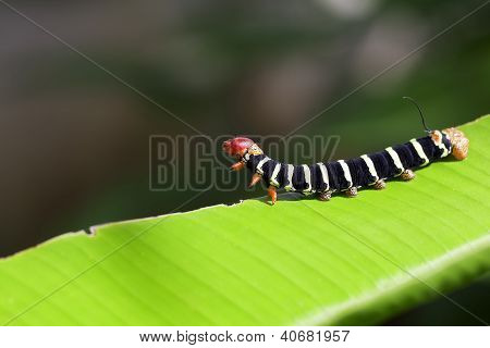Jungle Caterpillar