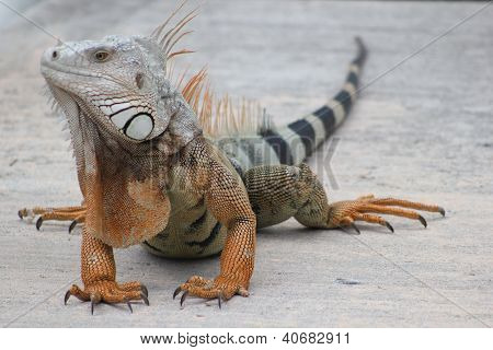 Iguana - The old one
