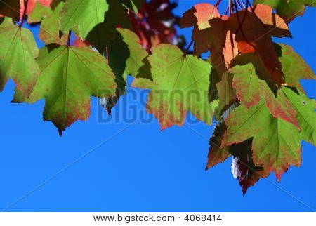 Colorful Fall Maple Leaves Against Blue Sky