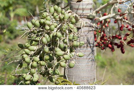 ripe Betel nut fruit