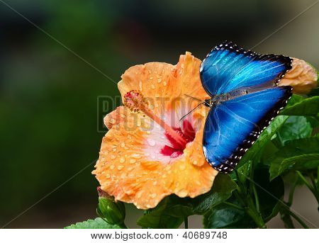 Blue Morpho butterfly on yellow hibiscus flower