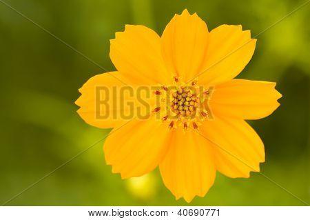 A Cosmos Flower