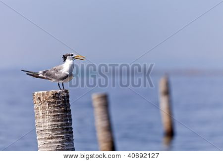 A Great Crested Tern