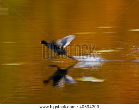 Gentle hen running on a forrest lake in fall