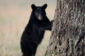 stock photo of bear cub  - American black bear cub clinging to the side of a tree in Smoky Mountain National Park - JPG