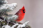 stock photo of cardinal-bird  - Male northern cardinal sitting in an evergreen tree following a winter snowstorm - JPG