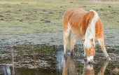 picture of feedlot  - Horse standing in a pool after days of raining Holland - JPG