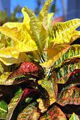 image of crotons  - Brightly multicolored leaves of croton plant - JPG