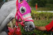 image of blinders  - Light gray thoroughbred race horse wearing pink blinders being led into the paddock at a south florida racetrack - JPG
